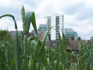 green roof with wheat